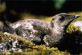 Murrelet in nest